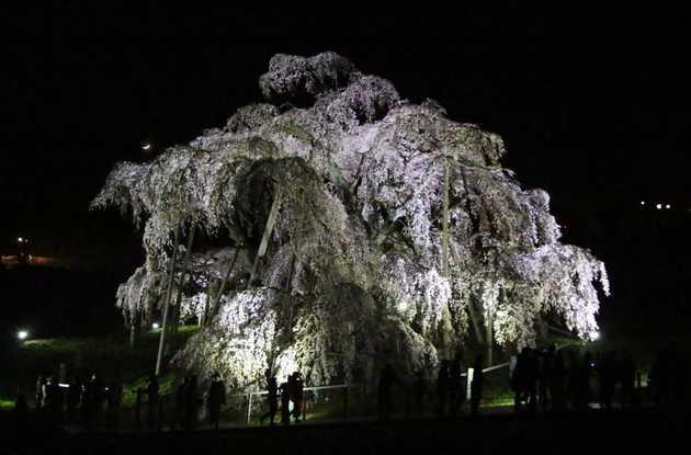 滝桜後ろ 1