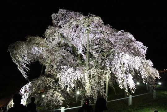 滝桜右 2