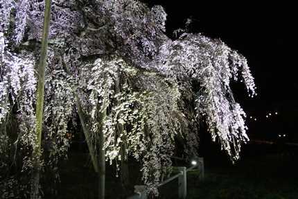滝桜 枝2
