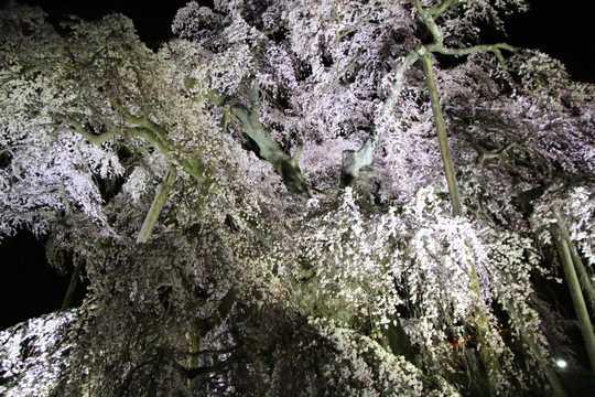 滝桜 下から