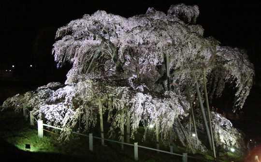 滝桜左 1