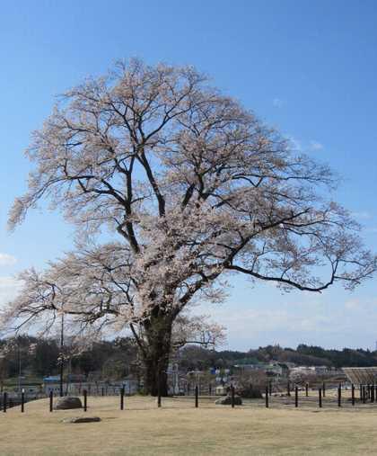 安達の桜 3