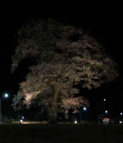 安達の桜 1