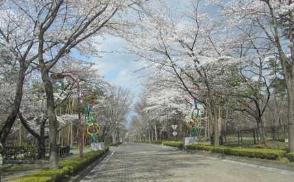 吾妻運動公園の桜 2