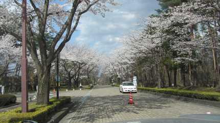 吾妻運動公園の桜 1