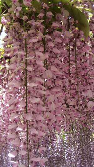 みごとな藤 8 ピンク