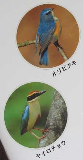 野鳥 4 ルリビタキ