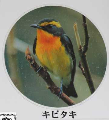 野鳥 3 キビタキ