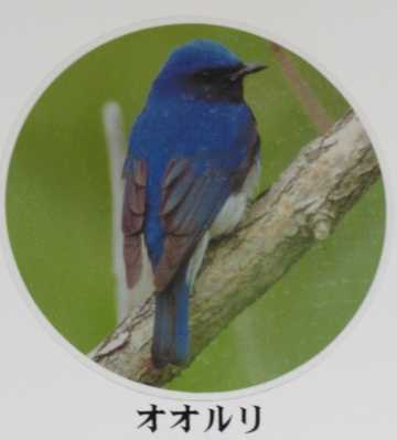 野鳥 2 オオルリ