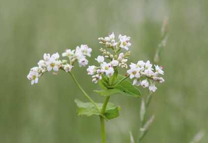 花 5 ソバの花