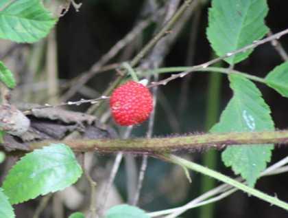 木いちご 1