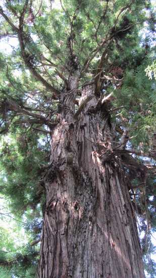 諏訪大社 11 根入りの杉3