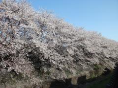 引地川の最初の桜