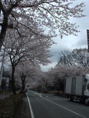 秩父宮公園近くの桜並木