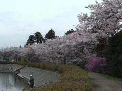東山湖の桜