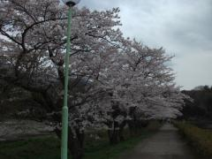 東山湖の桜見事