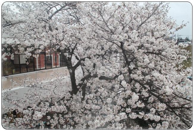 観覧車からの桜