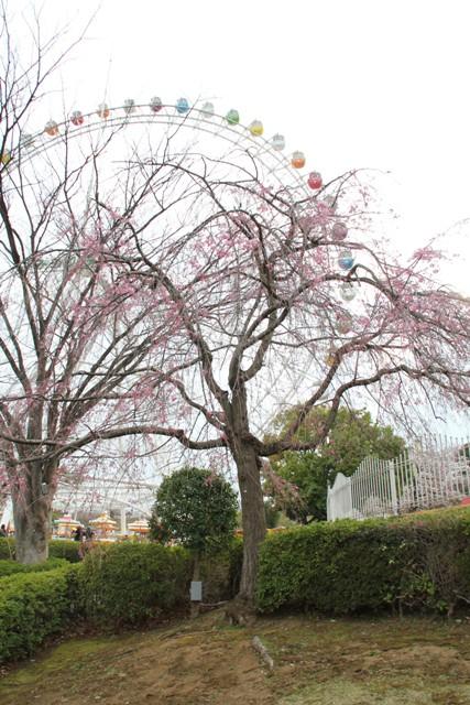 枝垂桜越しの観覧車①