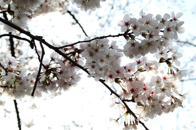 麻生川桜⑫