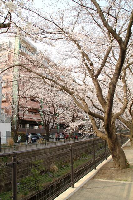 麻生川桜⑧