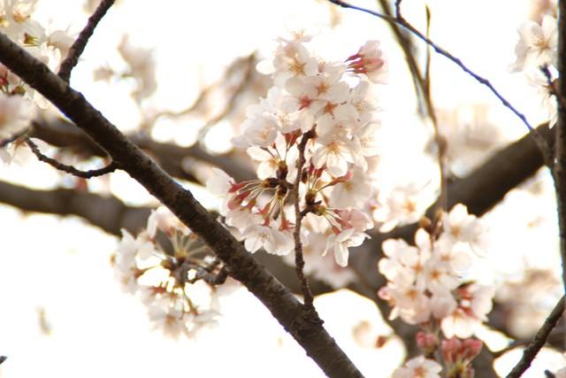 麻生川桜⑦