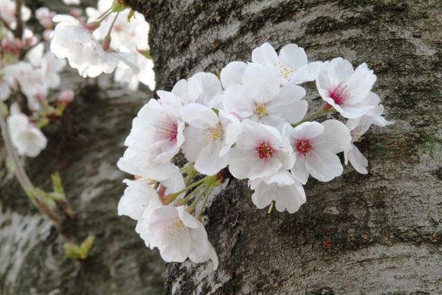 麻生川桜⑥