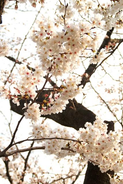 麻生川桜②