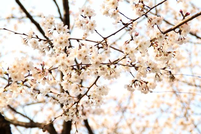 麻生川桜①