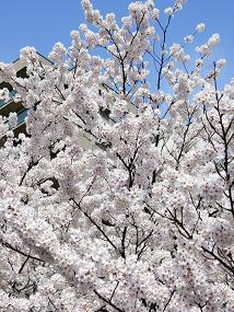 sakura_2010_04110002