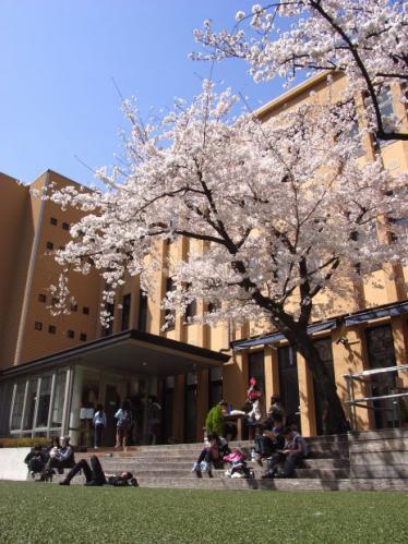 京都国際マンガミュージアムの桜