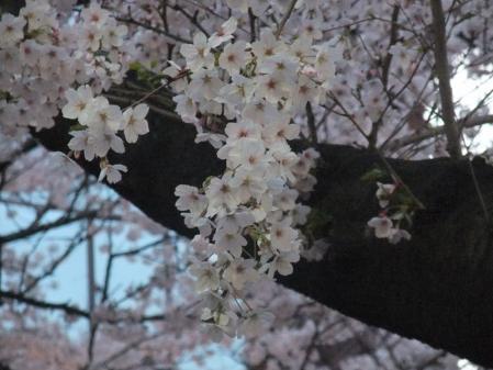 高瀬川の桜5
