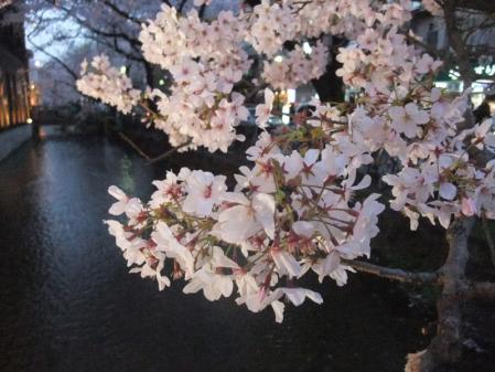 高瀬川の桜3