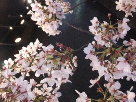 高瀬川の桜2