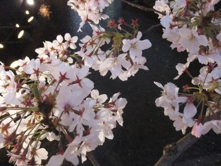 高瀬川の桜8