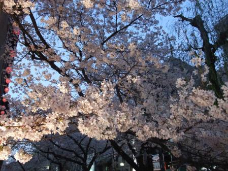 高瀬川の桜7
