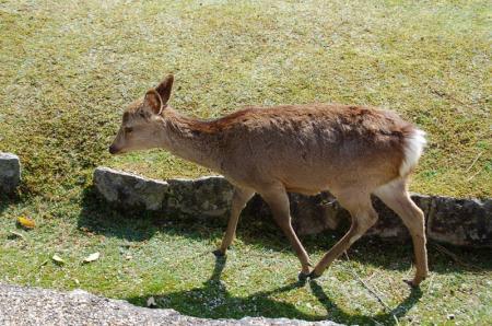 奈良の鹿6