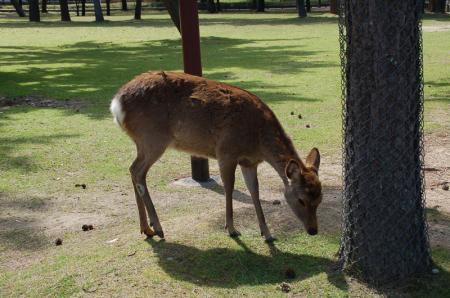 奈良の鹿5