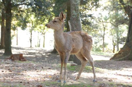 奈良の鹿4