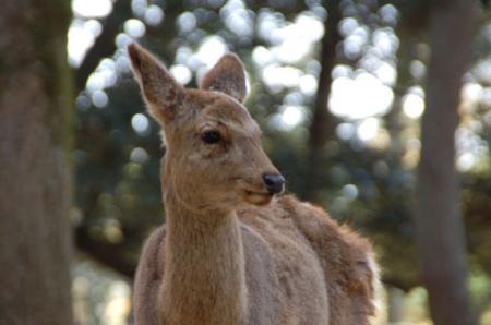 奈良の鹿2