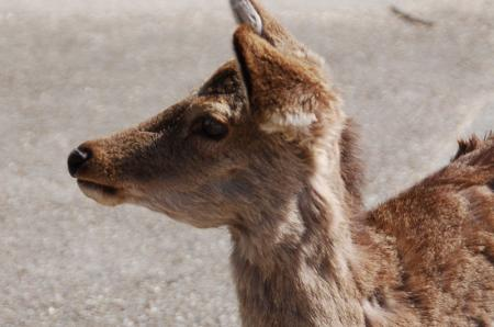 奈良の鹿9