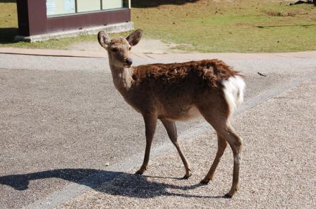 奈良の鹿8