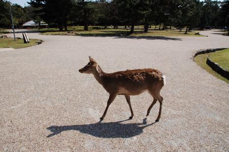 奈良の鹿7