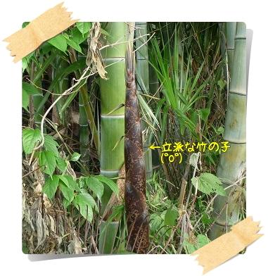 立派な竹の子