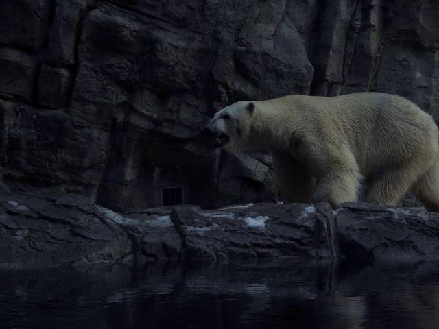 白熊凄い迫力
