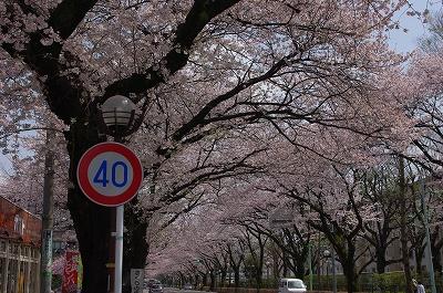 s-桜通り