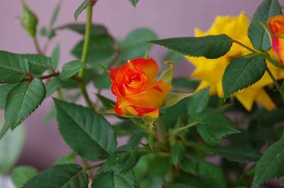 s-アンバーコルダナ・ミニ薔薇