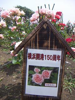 野毛山公園のバラの花 はまみらい A