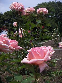 野毛山公園のバラの花 はまみらい B