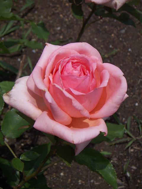 野毛山公園のバラの花 はまみらい C