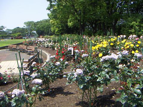 野毛山公園のバラの花 A